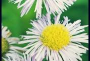 three_flowers
